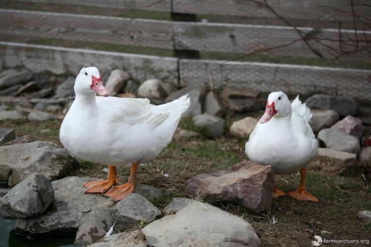 patos-rescatados4