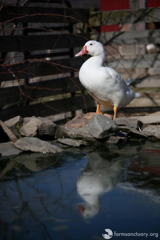 patos-rescatados6
