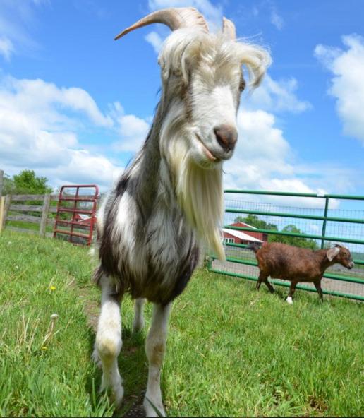 patrick cabra rescatada feliz