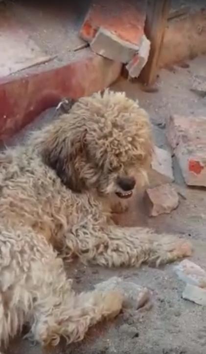 perro-adoptado-despues-de-terremoto-ecuador10