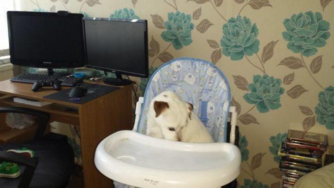 perros-como-bebes-15