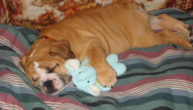 perros-hacen-ruido-mientras-duermen1