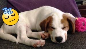 perros-hacen-ruido-mientras-duermen3 - copia