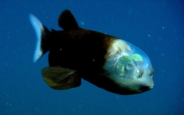 pez cabeza transparente 1