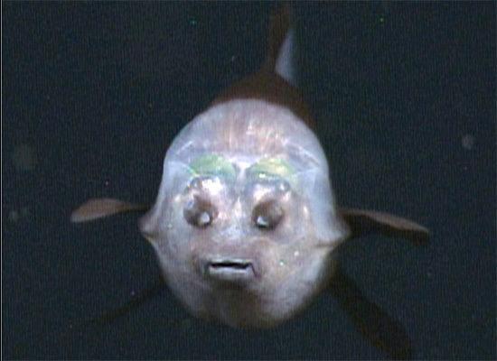 pez cabeza transparente 3
