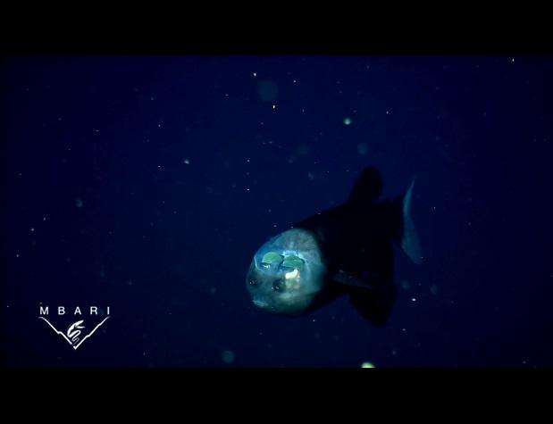 pez cabeza transparente 4