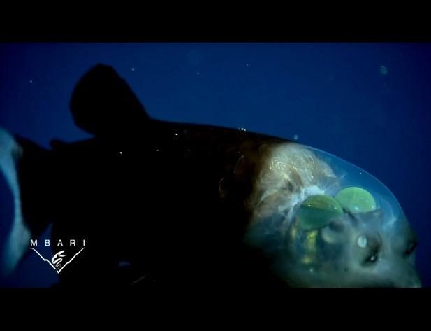 pez cabeza transparente 5