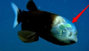 pez cabeza transparente 6