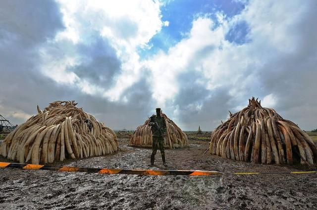 queman-marfil-en-kenia1
