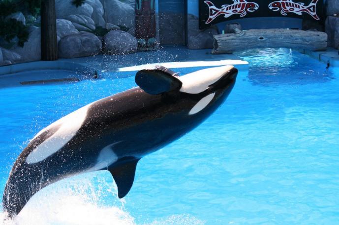shuoka orca seaworld