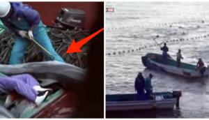 taiji-matanza-delfines