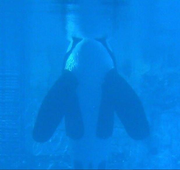 tilikum seaworld orca