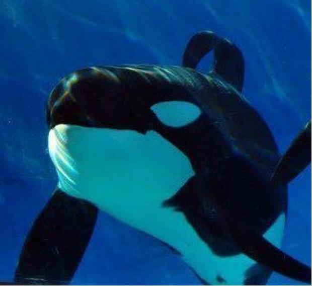 ulises seaworld orca