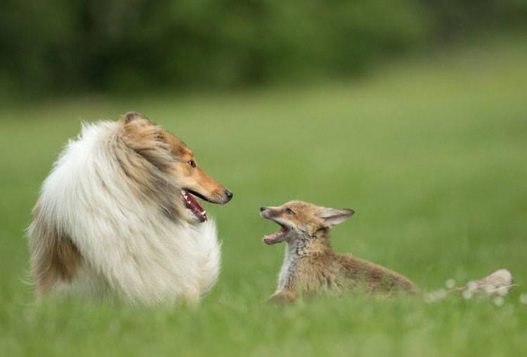 zorro-adoptado-perro1