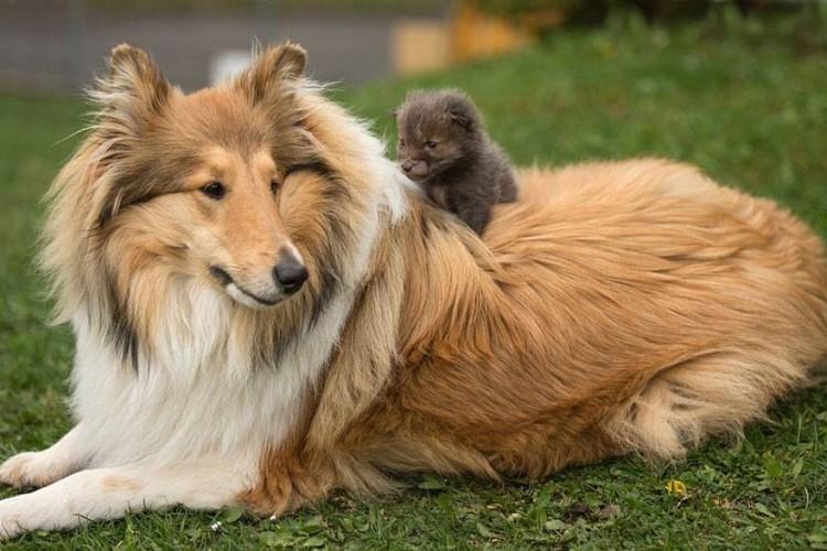 zorro-adoptado-perro4