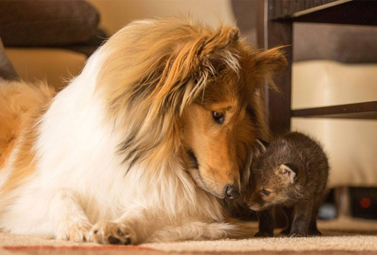 zorro-adoptado-perro5