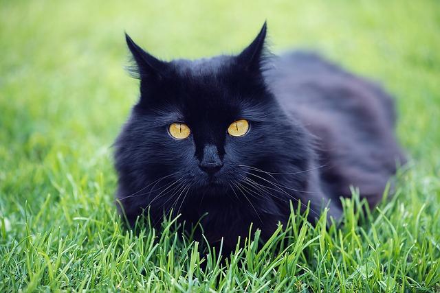 7-hechos-gatos-negros1
