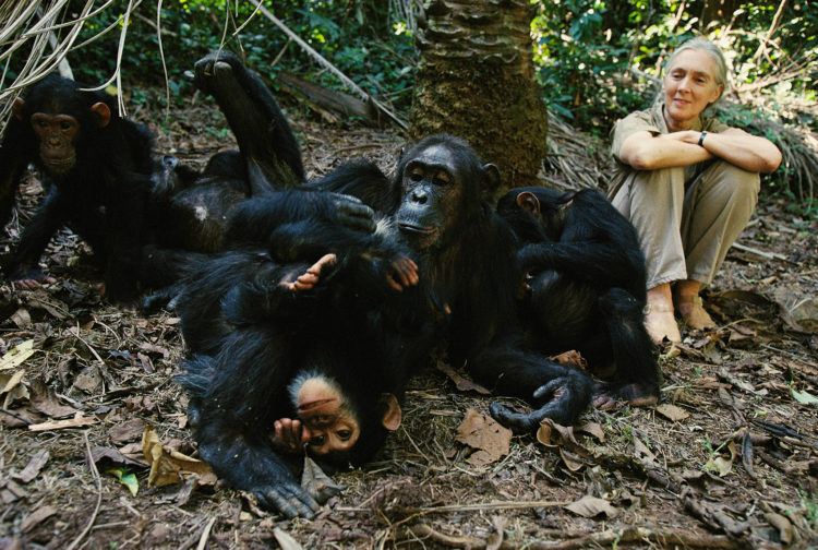 Chimpance-liberado 5