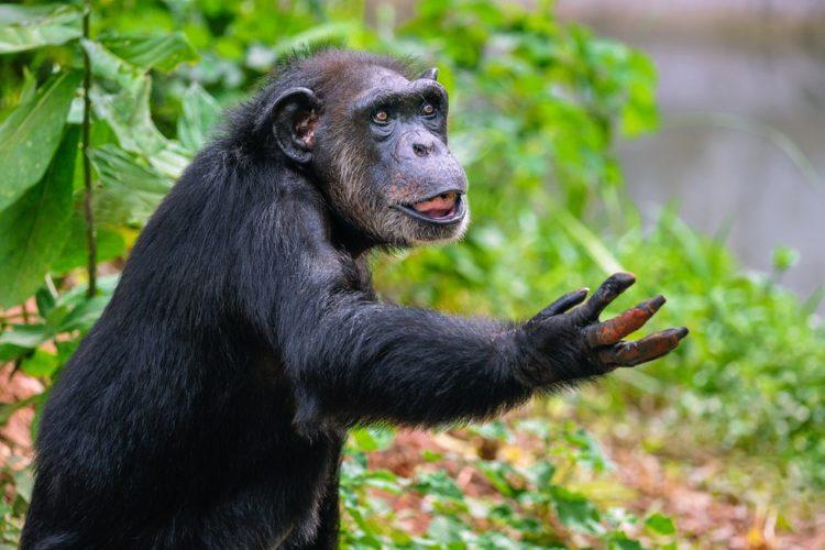 Chimpance-liberado