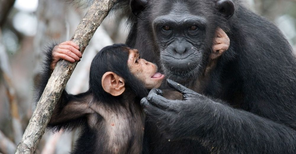 Chimpance-liberado portada