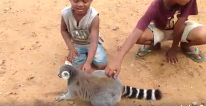 Lemur-pide-carino3