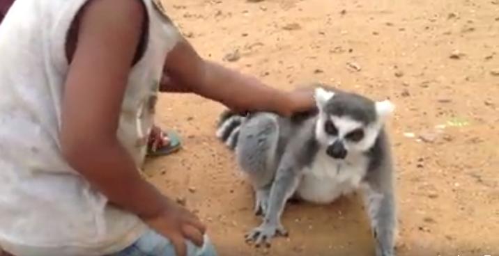 Lemur-pide-carino6