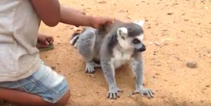 Lemur-pide-carino7