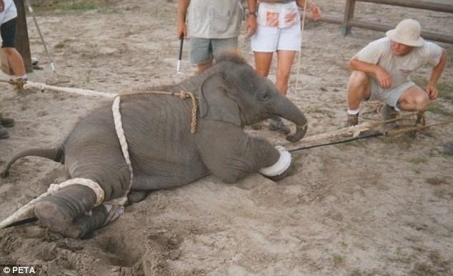 Maltrato-elefante-bebe 1