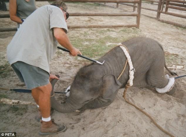 Maltrato-elefante-bebe 2
