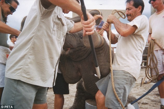Maltrato-elefante-bebe 4