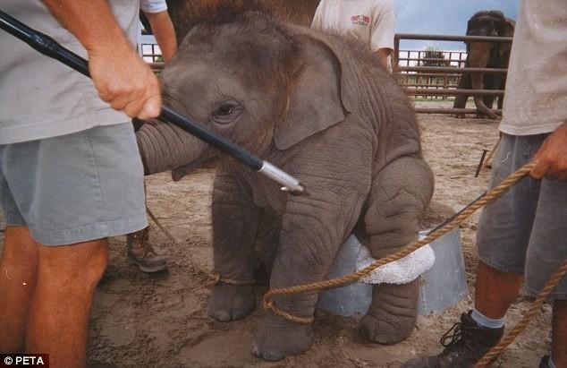 Maltrato-elefante-bebe 5