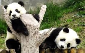 Pandas necesitan pasion 12