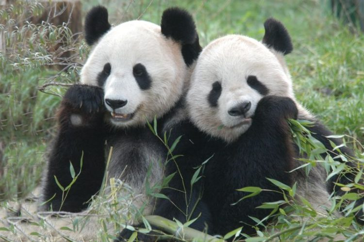 Pandas necesitan pasion 13