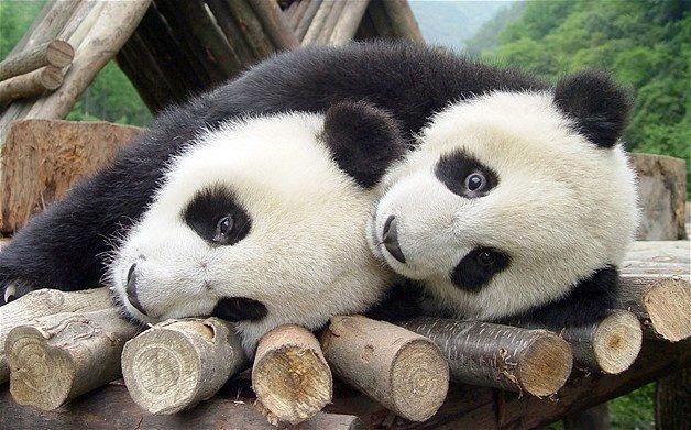 Pandas necesitan pasion 14