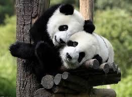 Pandas necesitan pasion 15