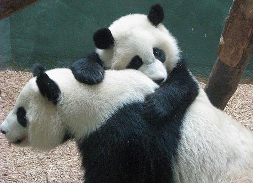 Pandas necesitan pasion 16