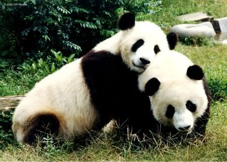 Pandas necesitan pasion 17
