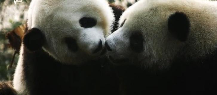 Pandas necesitan pasion 18
