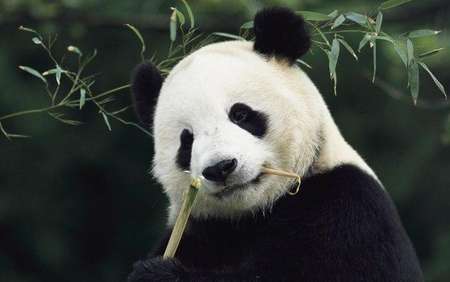 Pandas necesitan pasion 2