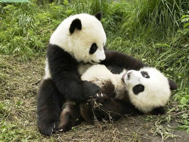 Pandas necesitan pasion 5