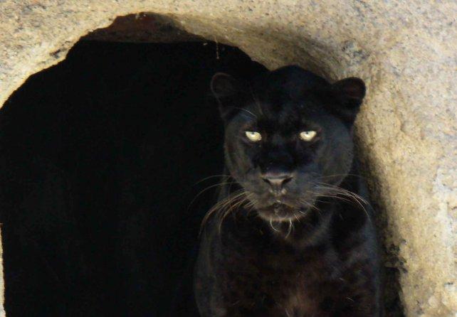 Zoo-Mendoza-crisis-pantera-negra
