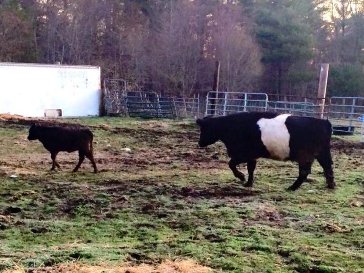 baby y lulu vaquita y cerdo el gran escapte