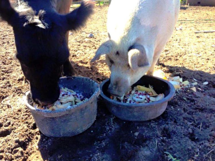 baby y lulu vaquita y cerdo escapdas juntas