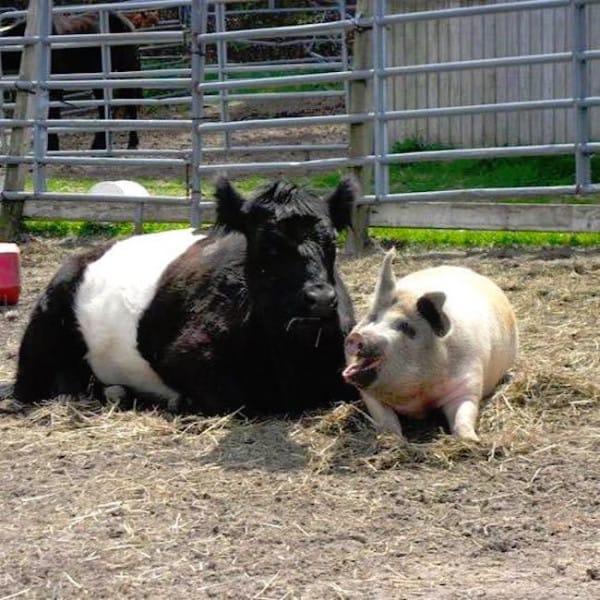 baby y lulu vaquita y cerdo juntos