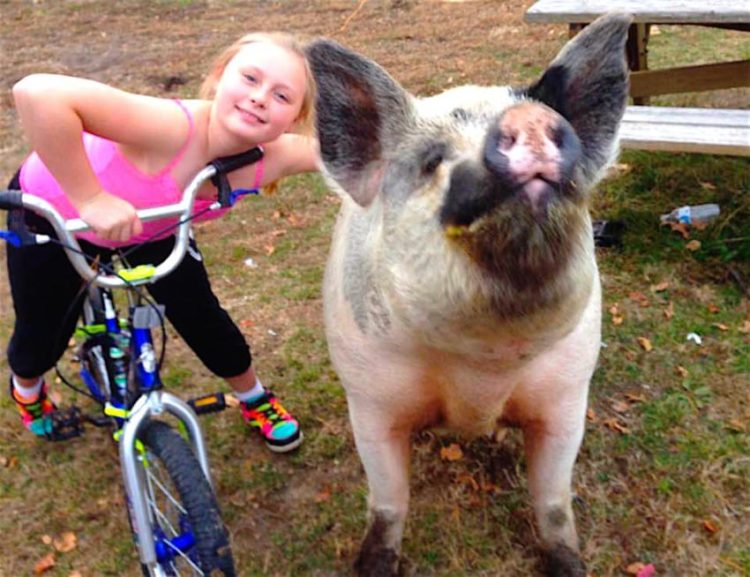 baby y lulu vaquita y cerdo sin patitas