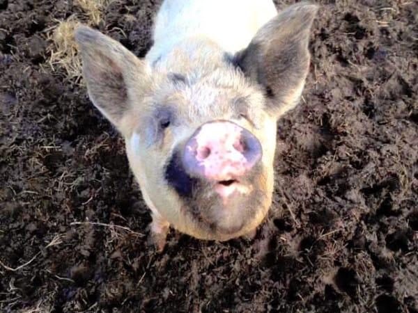 baby y lulu vaquita y cerdo
