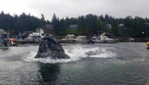 ballenas-alaska-sorprenden-pescadores1 - copia