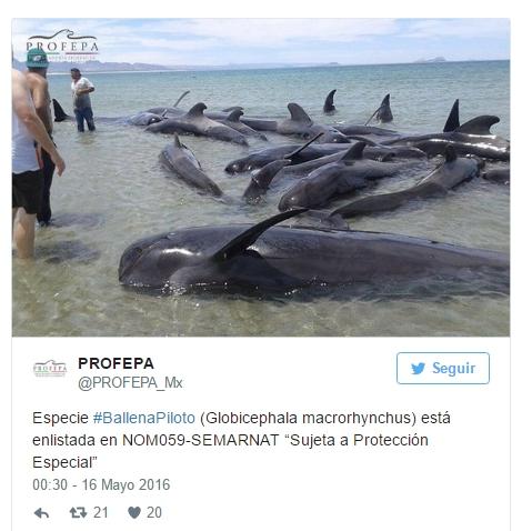 ballenas-mueren-en-playa-de-mexico1
