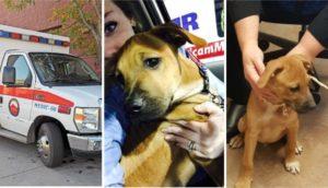 cachorro-corre-tras-ambulancia2 - copia