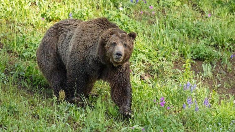 cazador-mata-oso-emblematico1
